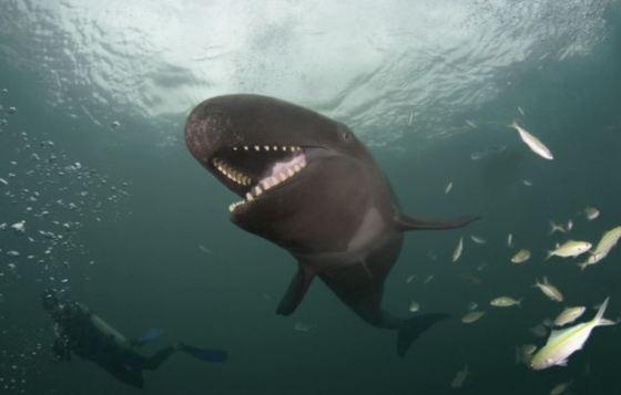 False-Killer-Whale-05